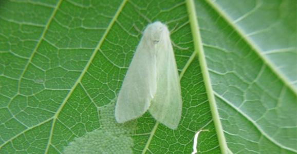 Amerikan Beyaz Kelebeği Uyarısı